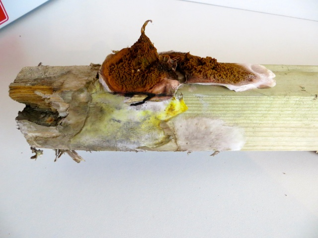 dry rot in a suspended timber floor
